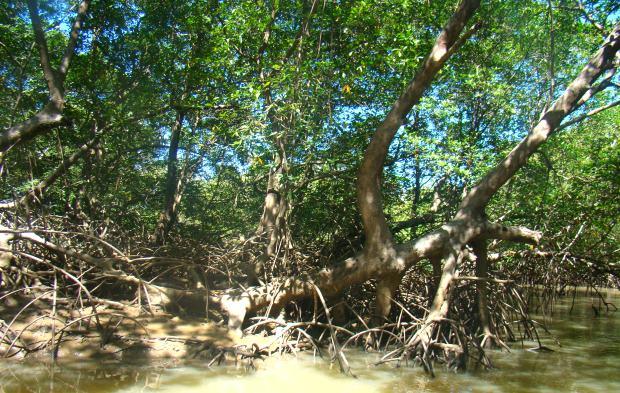 Nos igarapés, é preciso desviar da vegetação do mangue