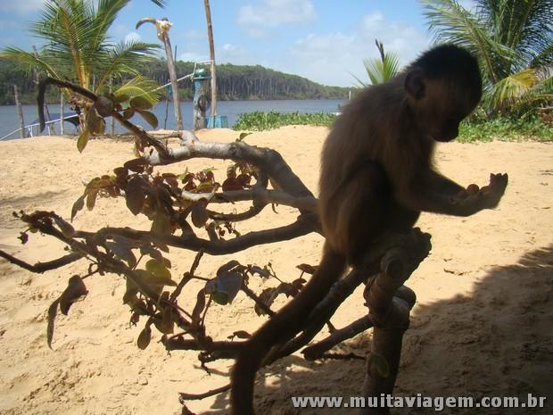 Macaco-prego em Vassouras, nos Pequenos Lençóis Maranhenses