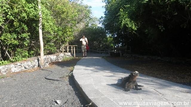 Animais endêmicos, como a iguana marinha de Galápagos, estão por todos os lugares