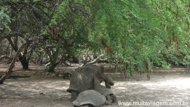 Uma foto das tartarugas Galápagos