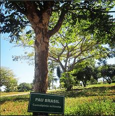 arvore pau brasil