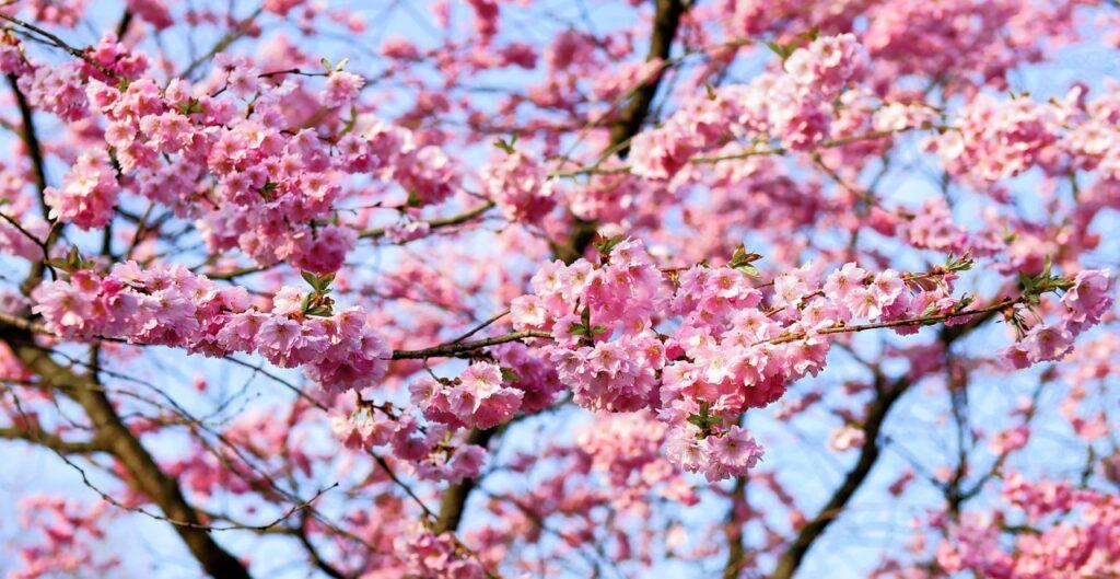 cerejeiras campos do jordão